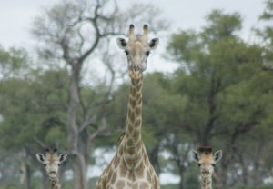 mother and two young giraffe 1