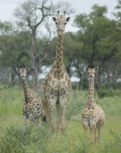 mother and two young giraffe