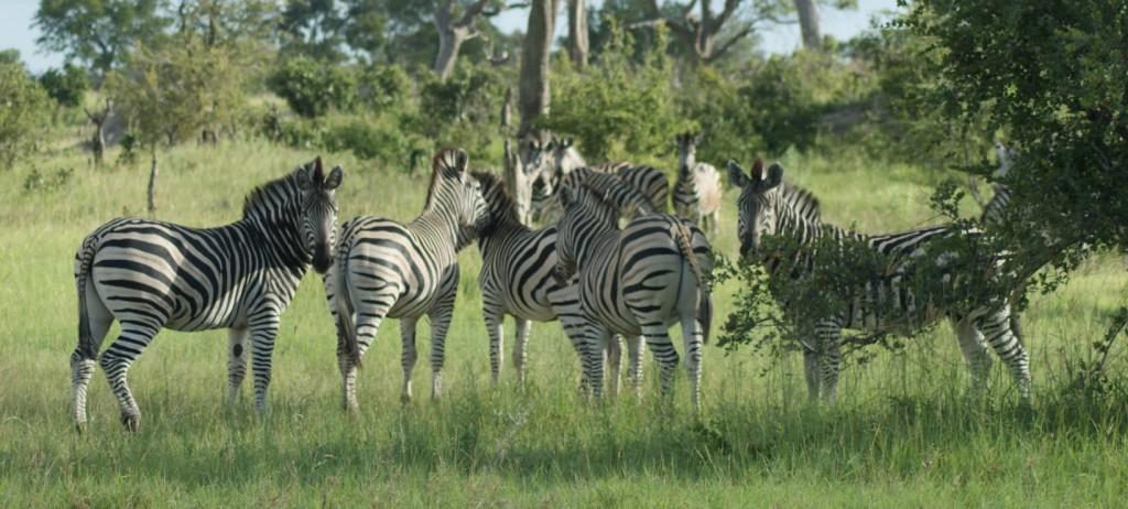 zebras Dsc01226
