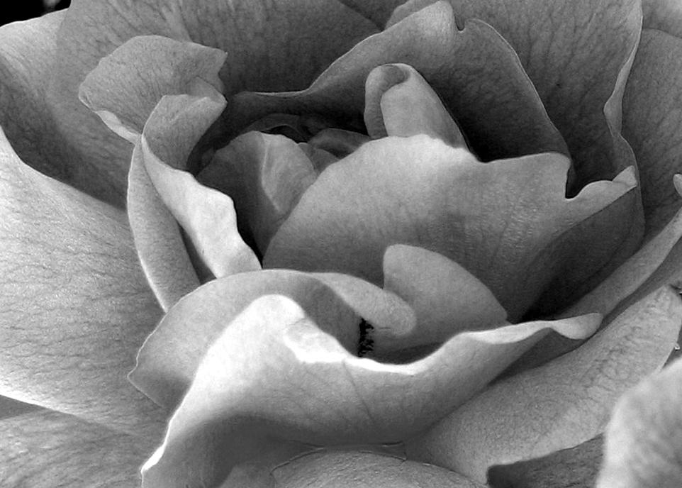rose-1508349
