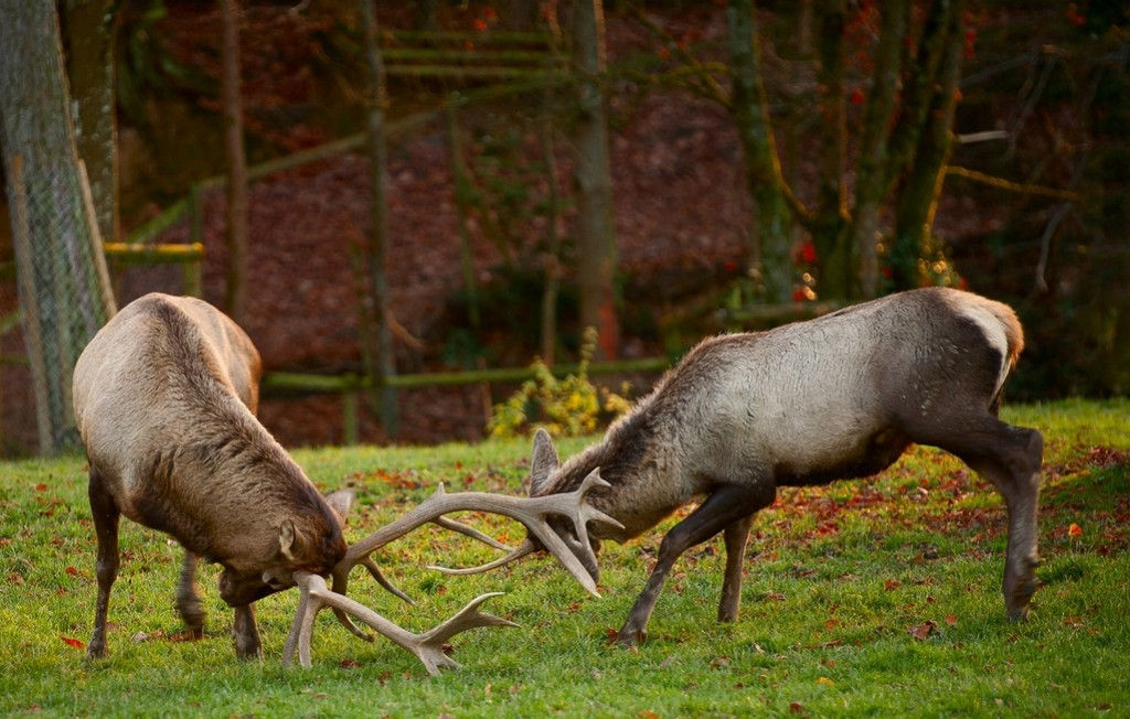 fighting-deer-1343394-1278x850