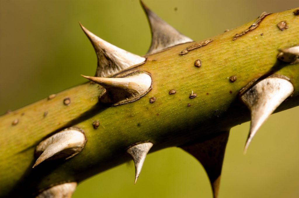 thorns-1-1248438-1279x850
